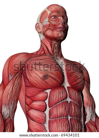 Anatomy Muscles - stock photo