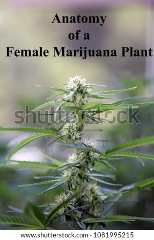 Anatomy Female Marijuana Plant Flower Stock Photo (100% Legal ...