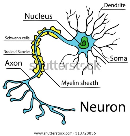 Anatomy of a typical human neuron (axon, synapse, dendrite, mitochondrion,  myelin  sheath, node Ranvier and Schwann cell). Raster diagram 2 - stock photo
