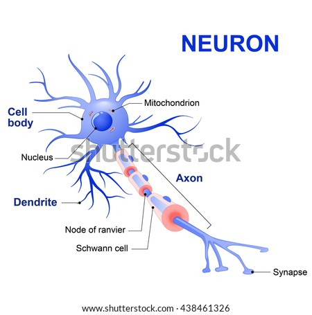 Anatomy of a typical human neuron (axon, synapse, dendrite, mitochondrion,  myelin  sheath, node Ranvier and Schwann cell) - stock photo