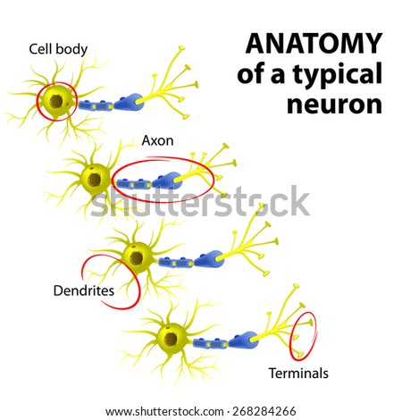 Anatomy of a typical multipolar neuron: dendrite, cell body (soma),  axon and terminal - stock photo