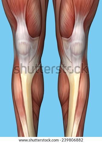 Anatomy of back of leg featuring quadriceps, hamstrings, calf, rectus femorus muscle, vastus lateralis muscle, vastus medialis muscle, tibialis anterior and gastrocnemius muscle. - stock photo
