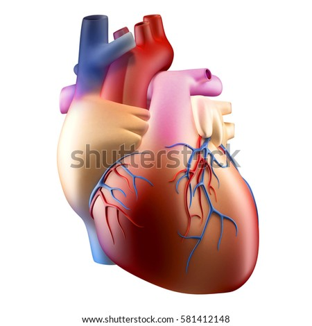 Anatomy Human Heart Soft Concept 3 D Stock Illustration 581412148