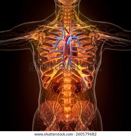 Anatomy human organs xray view high stock illustration 260179682 anatomy of human organs in x ray view high resolution ccuart Choice Image
