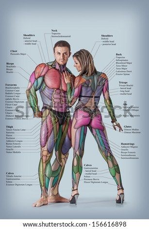 anatomy male female muscular system anterior stock photo 156616898, Muscles