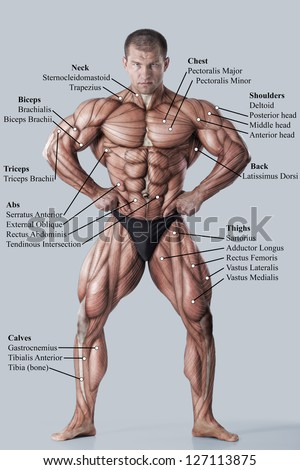 Anatomy Male Muscular System Anterior View Stock Photo Royalty Free