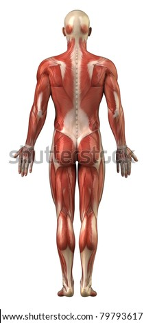 Anatomy of male  muscular system posterior view full body - stock photo