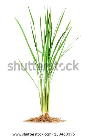 Anatomy Monocotyledon Jasmine Rice Plant Stockfoto (Lizenzfrei ...