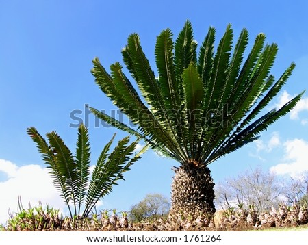Ancient cycads - stock photo