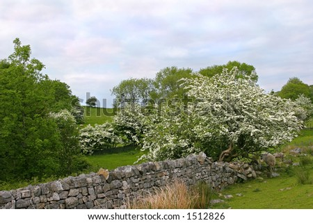 Ancient dry stone wall in fields in summer with flowering hawthorn trees in blossom. Set in the Brecon Beacons National Park, Wales, United Kingdom.