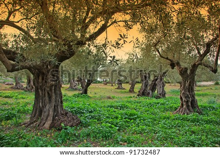 Ancient Olive trees in Majorca at Sunset - stock photo