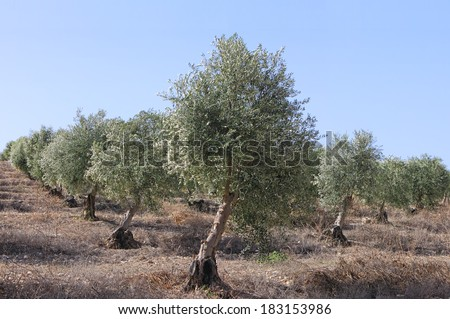 Ancient olive trees plantation (regenerated) on Judea Hills, Israel  - stock photo