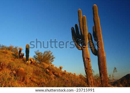 Ancient Saguaro in the Arizona Desert - stock photo