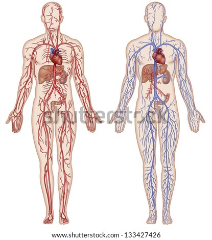 And arterial vascular system - stock photo