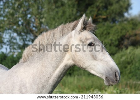 Andalusian gray young horse portrait in summer at the blooming field