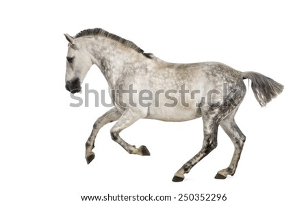 Andalusian horse galloping - stock photo