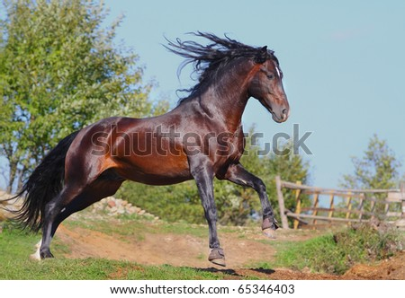 andalusian stallion in gallop - stock photo