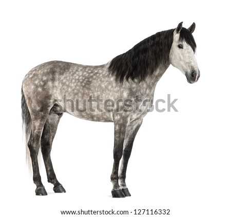 Andalusian, 7 years old, also known as the Pure Spanish Horse or PRE against white background - stock photo