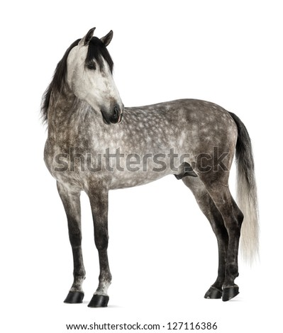Andalusian, 7 years old, looking back, also known as the Pure Spanish Horse or PRE against white background - stock photo