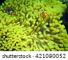 Anemone and anemone fish. Several clownfish in their nest on a tropical coral reef. Clown Anemonefish, Amphiprion percula, swimming among the tentacles of its anemone home. Koh Lipe Thailand - stock photo