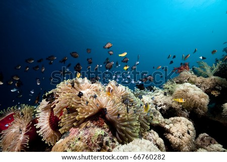 Anemone and anemonefish taken in the Red Sea. - stock photo