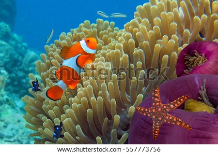 Anemone and Clownfish close-up. Ko Tao island, Thailand.