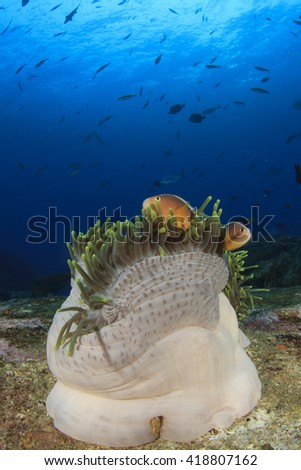 Anemone and Skunk Clownfish (Anemonefish) on underwater coral reef in sea - stock photo