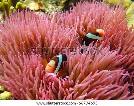 anemone clown fish - stock photo
