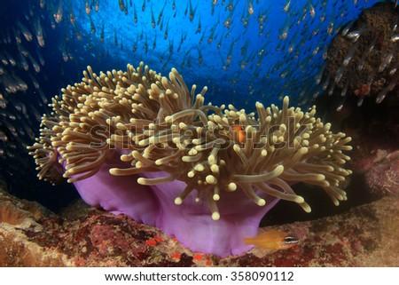 Anemone, clownfish, glassfish, coral reef - stock photo