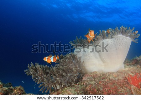 Anemone Clownfish Nemo fish - stock photo