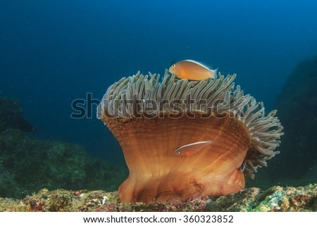 Anemone, Clownfish, Nemo fish, Anemonefish - stock photo