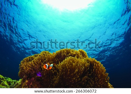 Anemone fish with blue ocean.   - stock photo