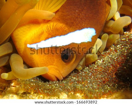 Anemone fish with Eggs - stock photo