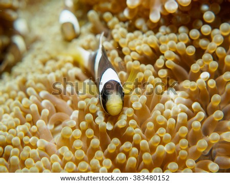 anemone fish with sea anemone