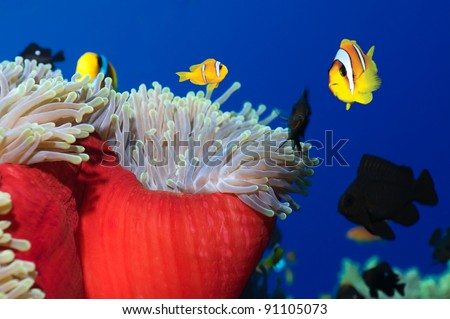 Anemone fishes in his colorful host sea anemone. - stock photo
