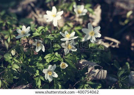 Anemone flowers in the springtime with sunlight