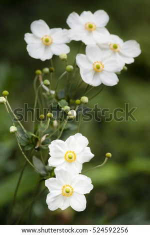 Anemone hupehensis flowers, Chinese anemone or Japanese anemone, thimbleweed, or windflower, flowering herbaceous perennials in the Ranunculaceae family