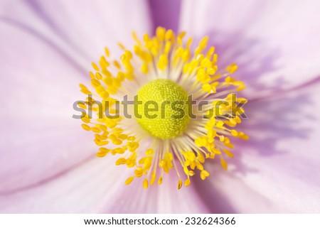 Anemone macro, pink flower with yellow stamens September Charm - stock photo