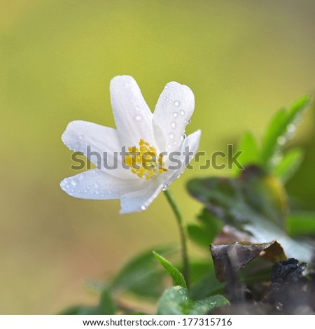 Anemone nemorosa - stock photo