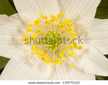 Anemone nemorosa flower with stamen, anther and pollen, Anemones,
