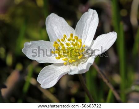 Anemone nemorosa, Wood anemone - stock photo