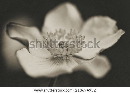 "Anemone""September Charm"" - stock photo"