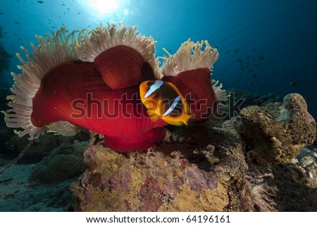 Anemonefish in the Red Sea. - stock photo