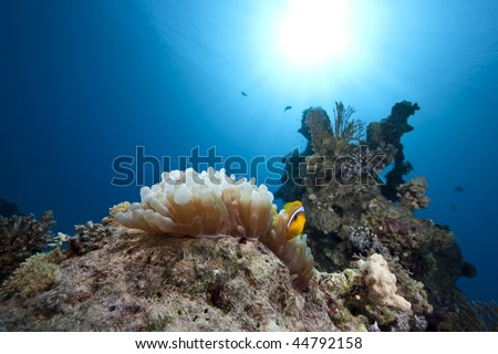 anemonefish, ocean and bubble anemone