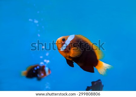 anemonefish underwater in blue water at aquarium. - stock photo