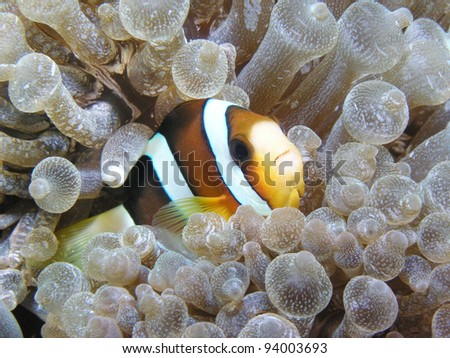 anemonefish with anemone - stock photo