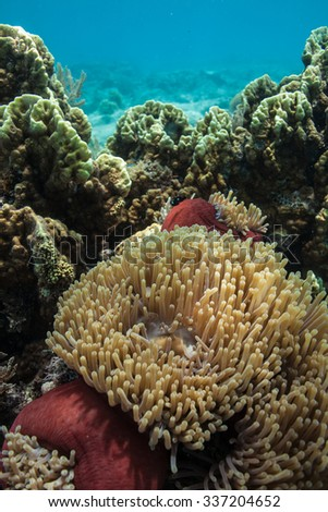 Anemones add color to a beautiful African coral reef scene - stock photo