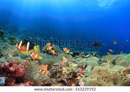 Anemones, Clownfish underwater on coral reef - stock photo
