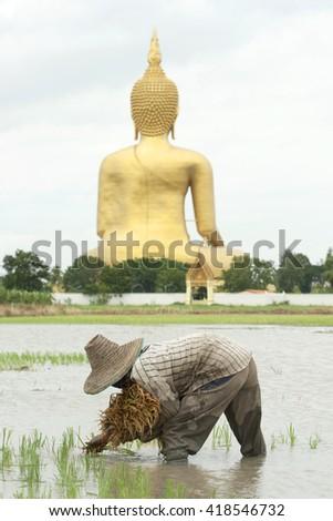 ANG THONG,THAILAND - JULY 16 : Farmer is planting rice in the farmland on July 16, 2009. in Ang Thong Thailand. Thailand. - stock photo