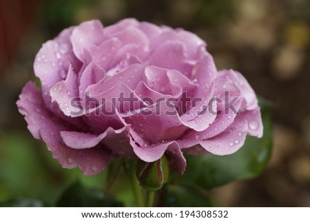 Angel Face rose variety blooming in the garden - stock photo